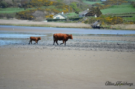 cows on beach wm