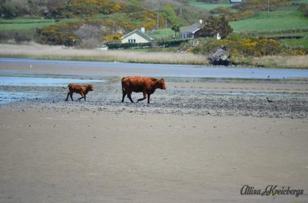 cows on beach wm